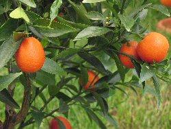 """Citrus x sinensis"""""""