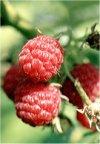 "Rubus idaeus"""