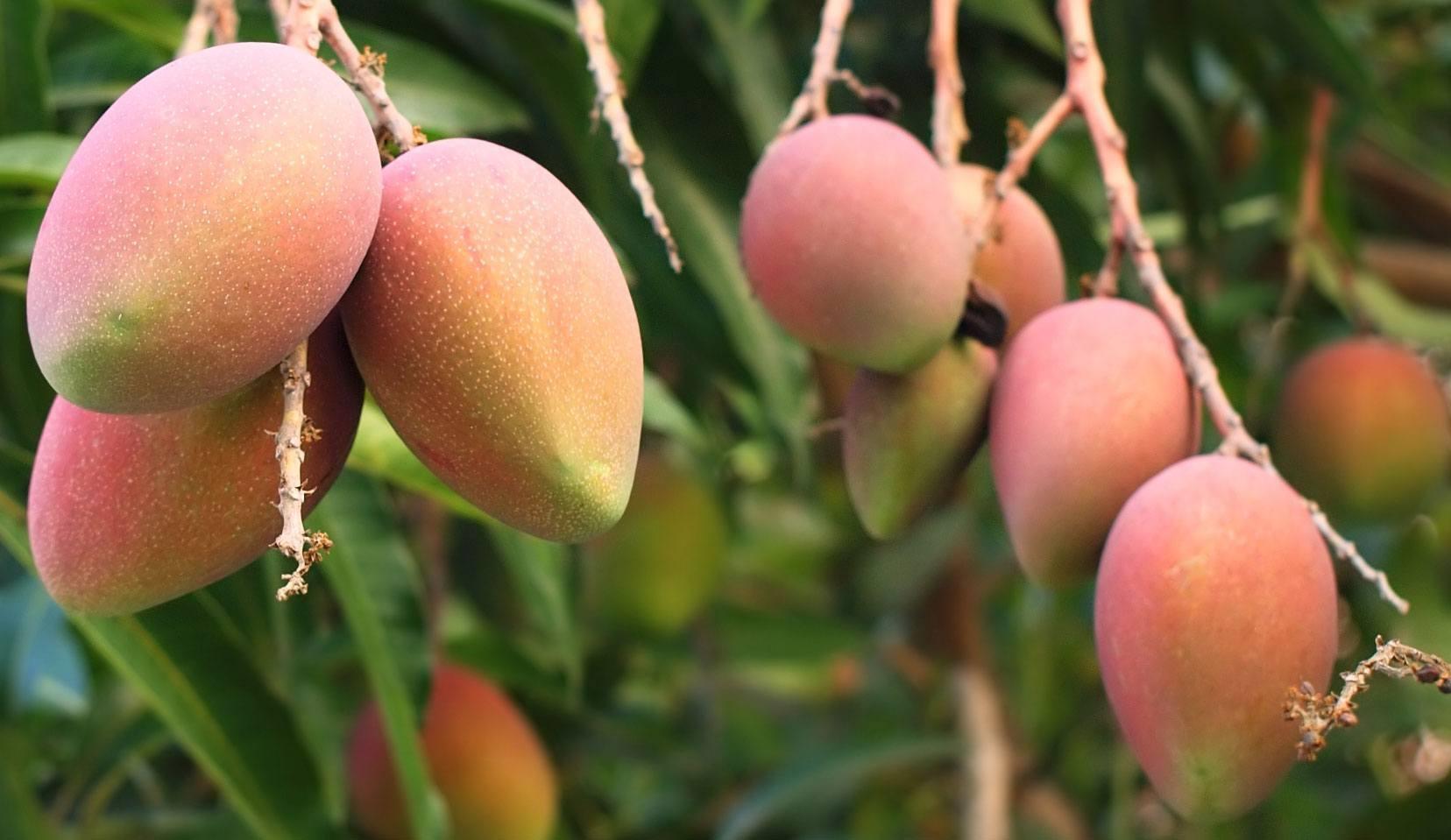 mango pianta