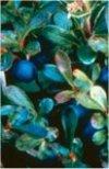 """Vaccinium myrtillus"""""""