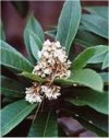 "Eriobotrya japonica"""
