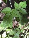 """Rubus"""""""