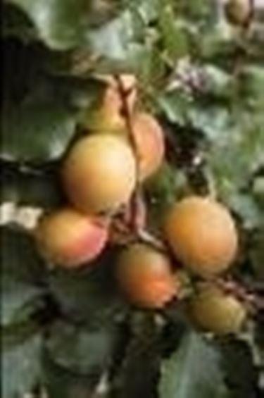 ramo di albicocco