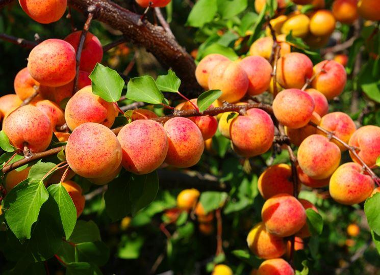 frutti di albicocco