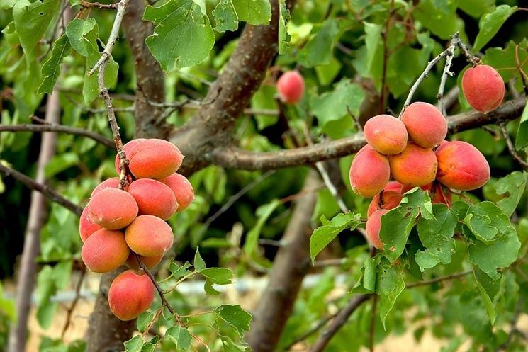 variet� albicocche
