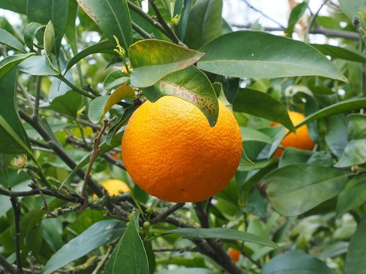 Concimazione arancio