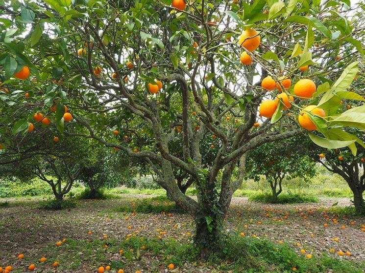 arancio pianta