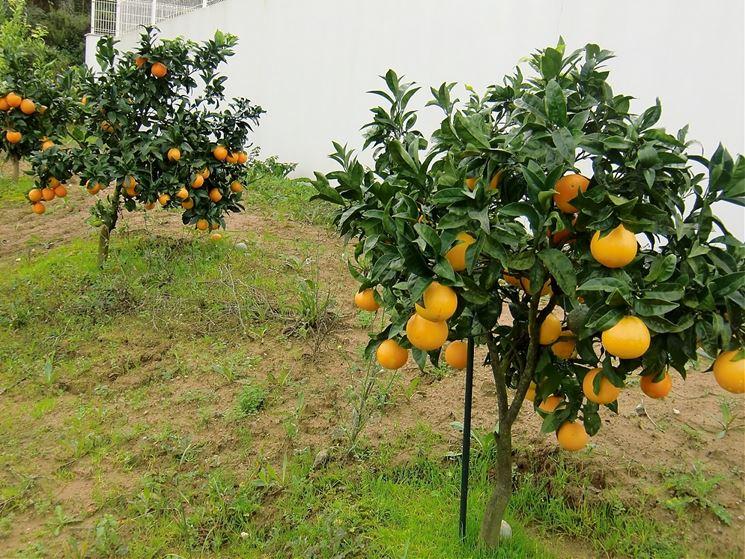piante arancio