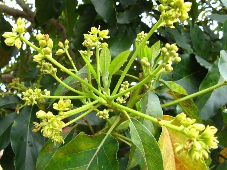 fiori avocado