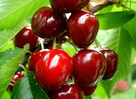 Ciliegio  -  Prunus avium