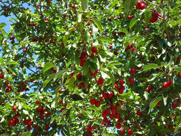 Ciliegio - Prunus avium - Prunus avium - Frutteto - Ciliegio - Prunus ...