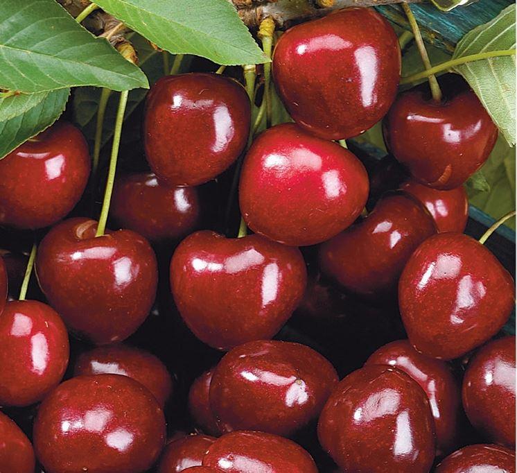 Ciliegio variet frutteto tipologie di ciliegio for Piante da frutto a radice scossa