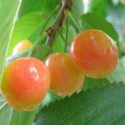 le migliori varieta di ciliegie