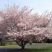 ciliegie varietà