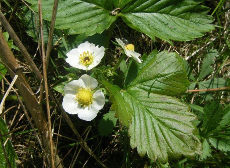 fiore fragaria