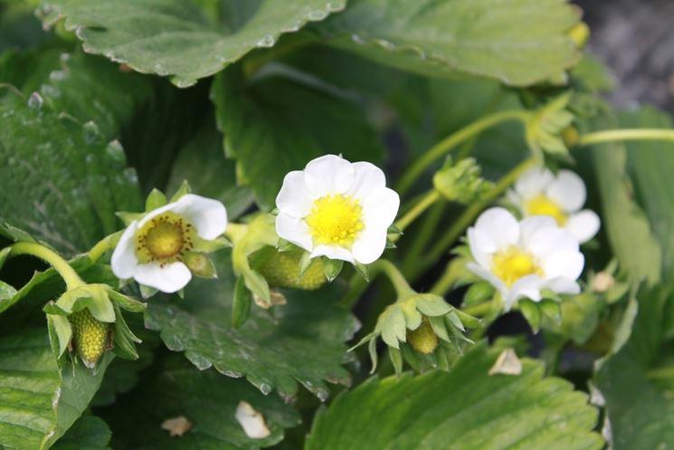 fragole fiori