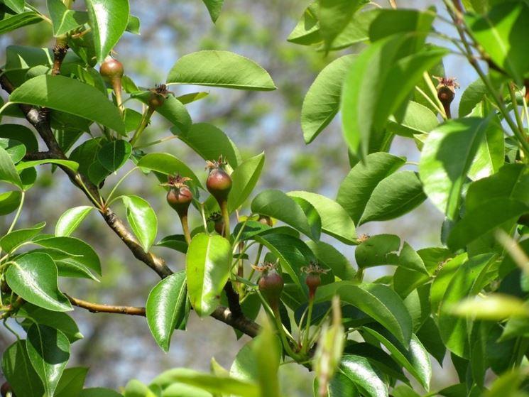 stadio giovanile pianta da frutto
