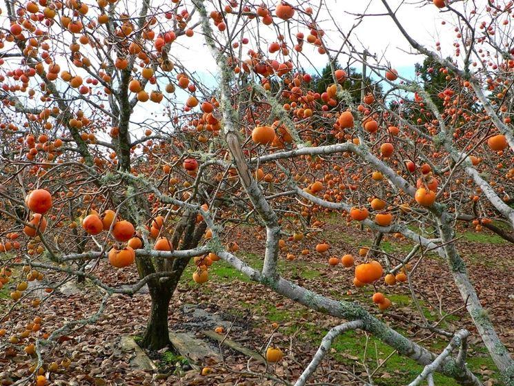 kaki autunno