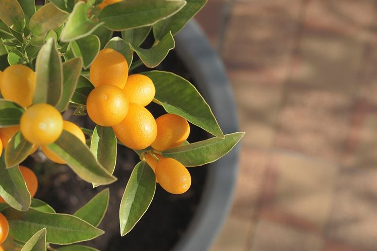 kumquat in vaso