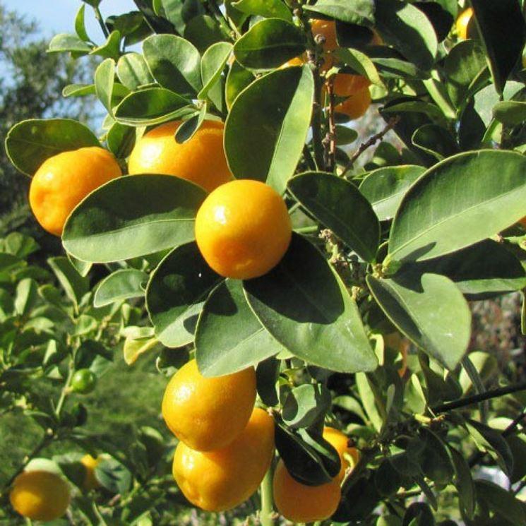 Potatura kumquat