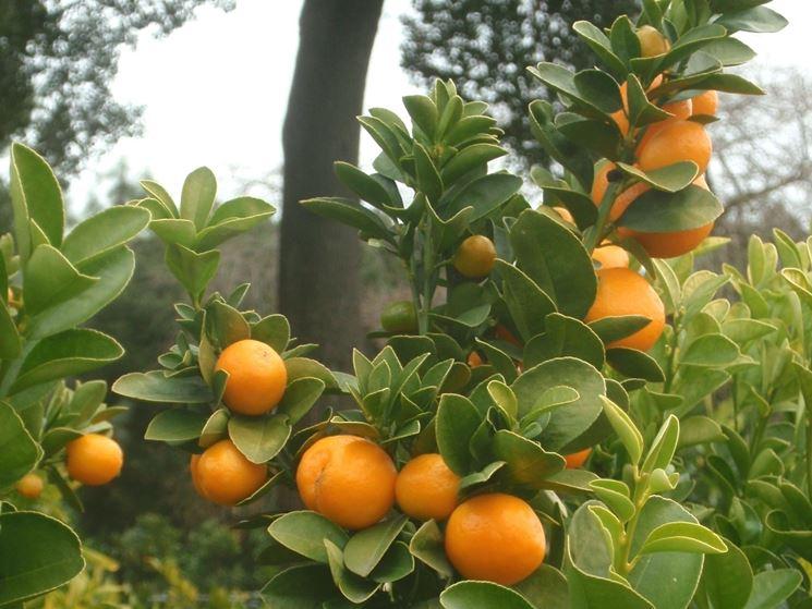 malattie kumquat