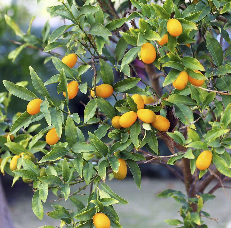 Annaffiature kumquat