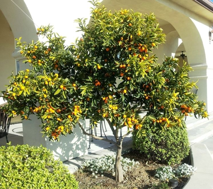 terreno kumquat