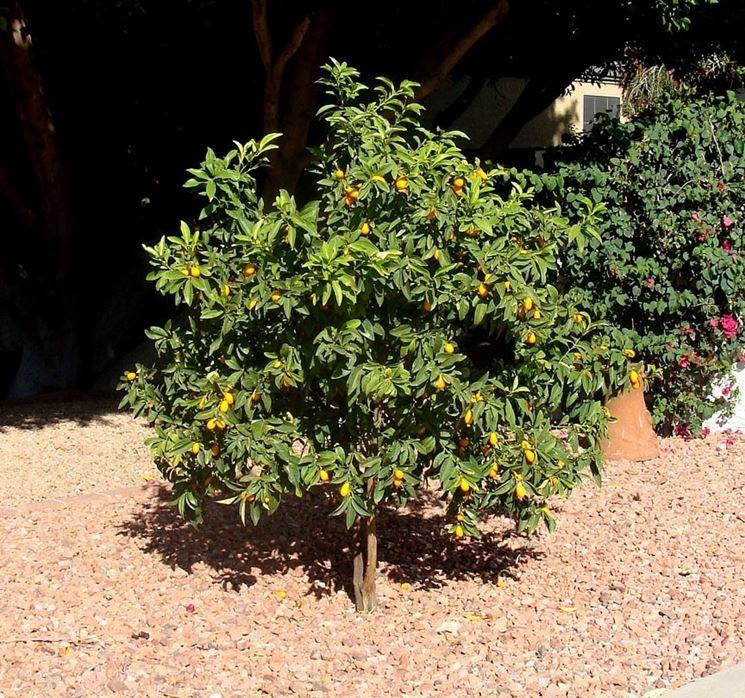 Piantare kumquat in piena terra