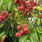 licis frutto