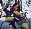 "Prunus amygdalus"""