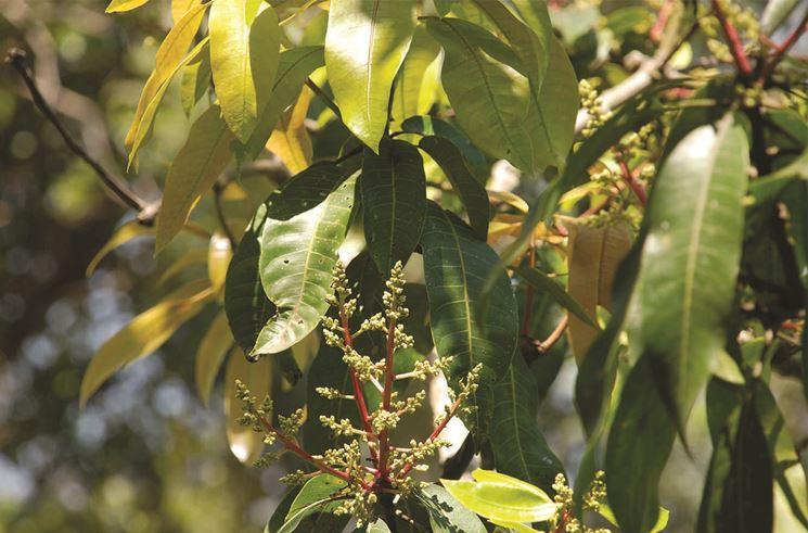 pianta di mango