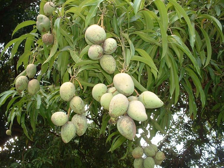 frutti in mango