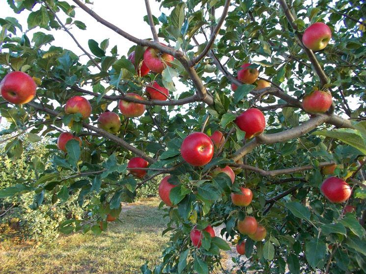 albero di malus