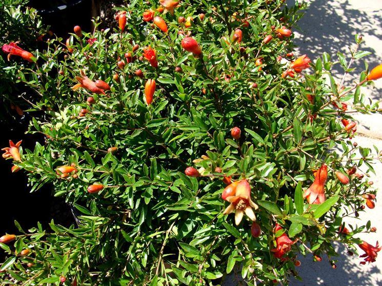 Melograno punica granatum punica granatum frutteto for Albero da frutto nano