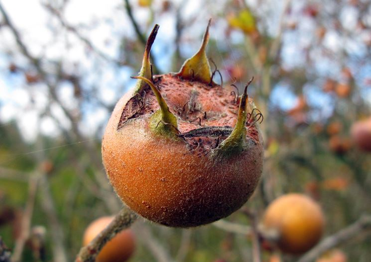 nespola frutto