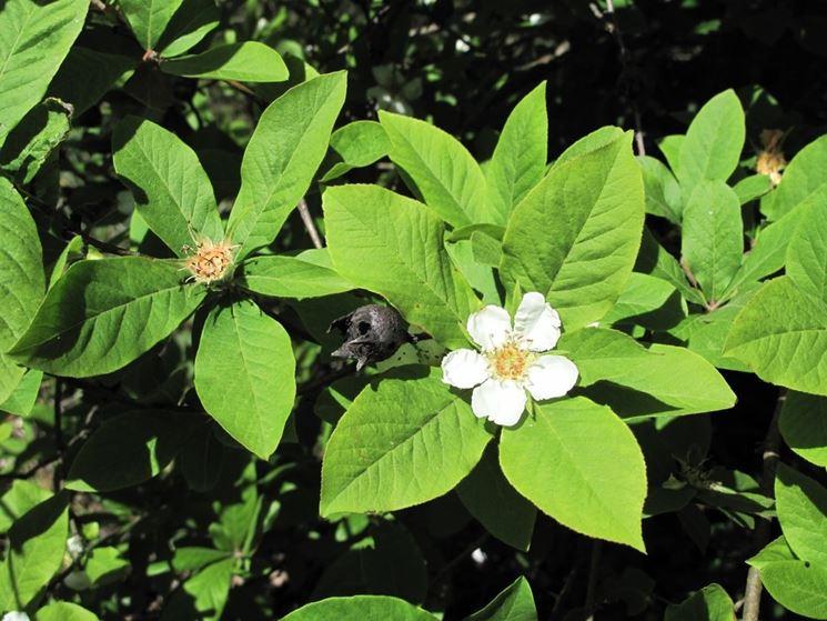 fiori nespole