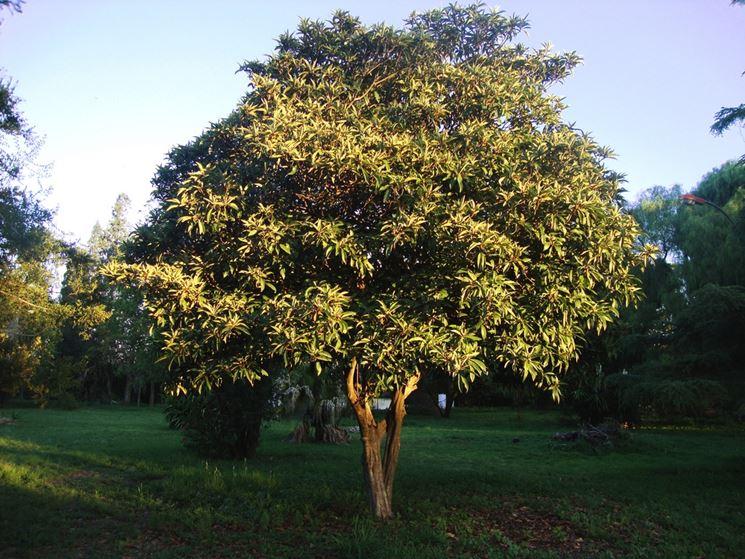 pianta di Eriobotrya japonica