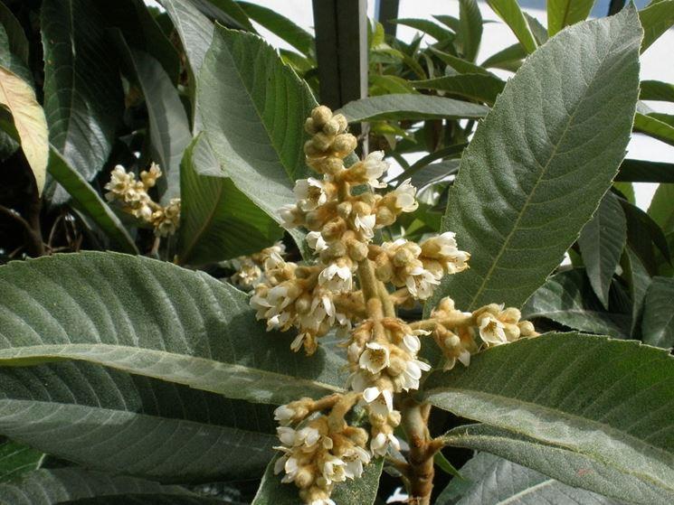 fiori nespolo giapponese