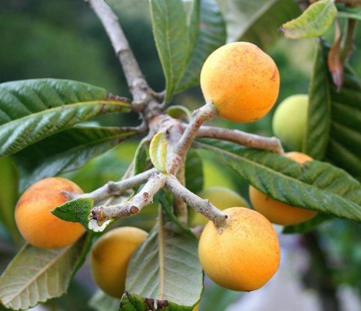 frutti nespolo