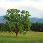 albero di noci