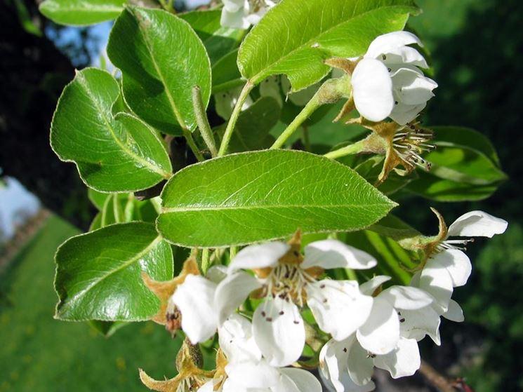 fiori pero