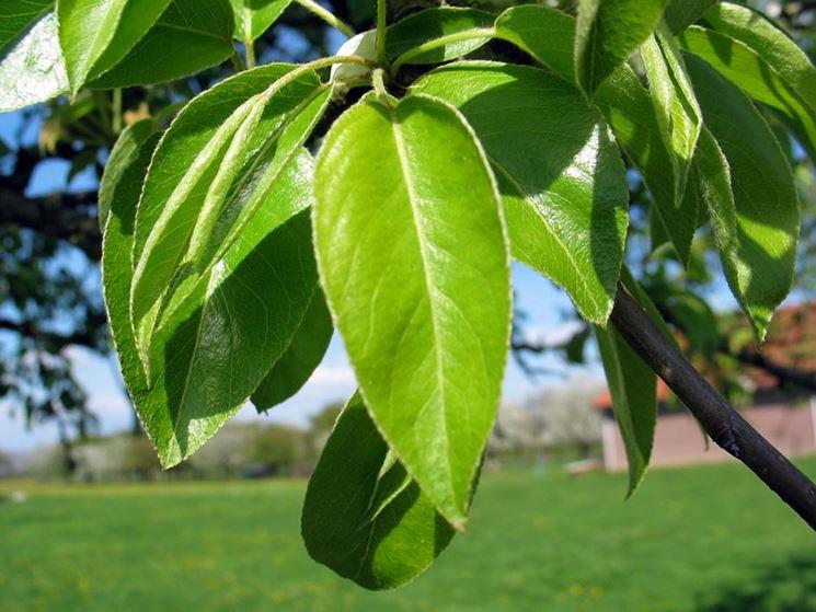 foglie pero