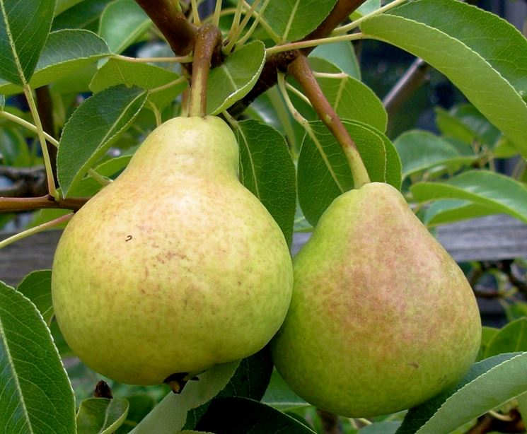 pere frutti