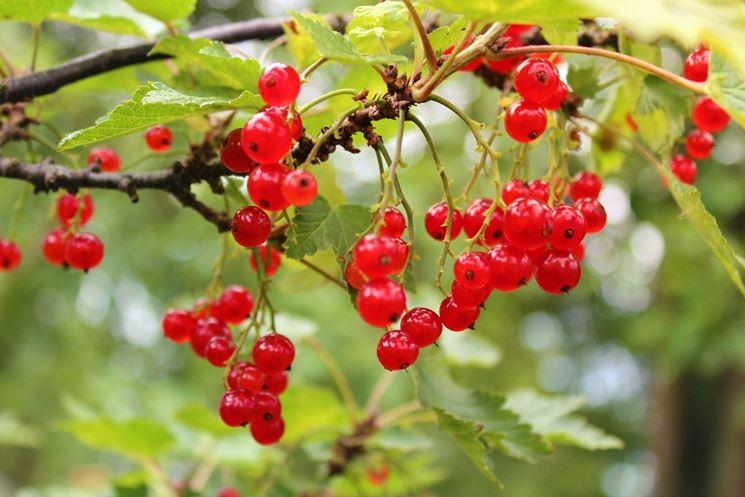 frutti di bosco frutteto frutti di bosco frutteto