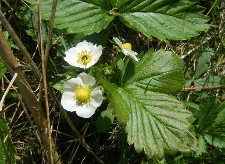 fiori fragole