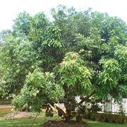 mango frutto coltivazione