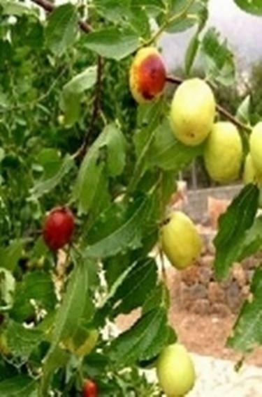 Giuggiolo zizyphus jujuba zizyphus jujuba frutteto for Piante da frutto nane in vaso