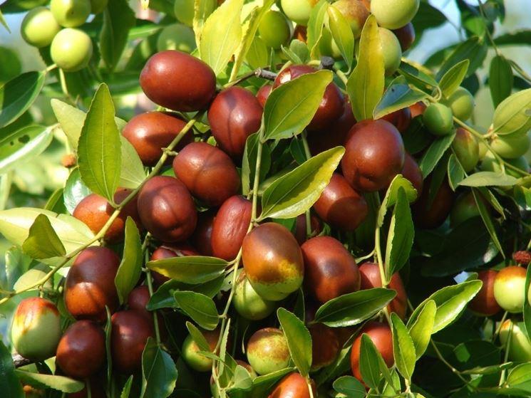 Giuggiolo zizyphus jujuba zizyphus jujuba frutteto for Coltivazione goji in vaso