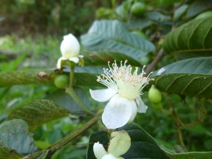 fiore di guava