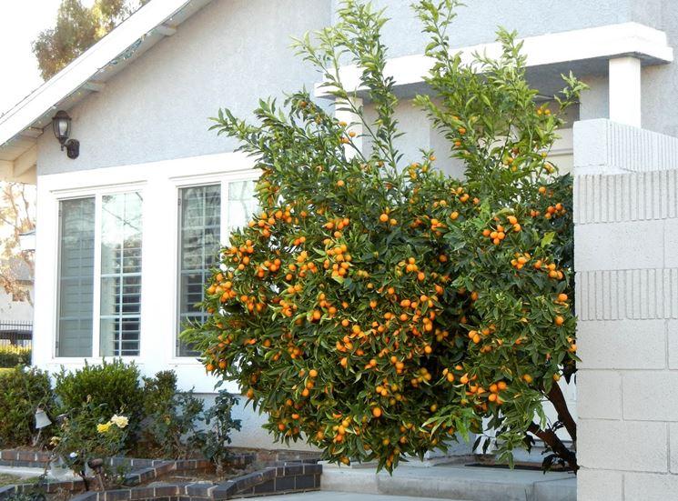 pianta di kumquat